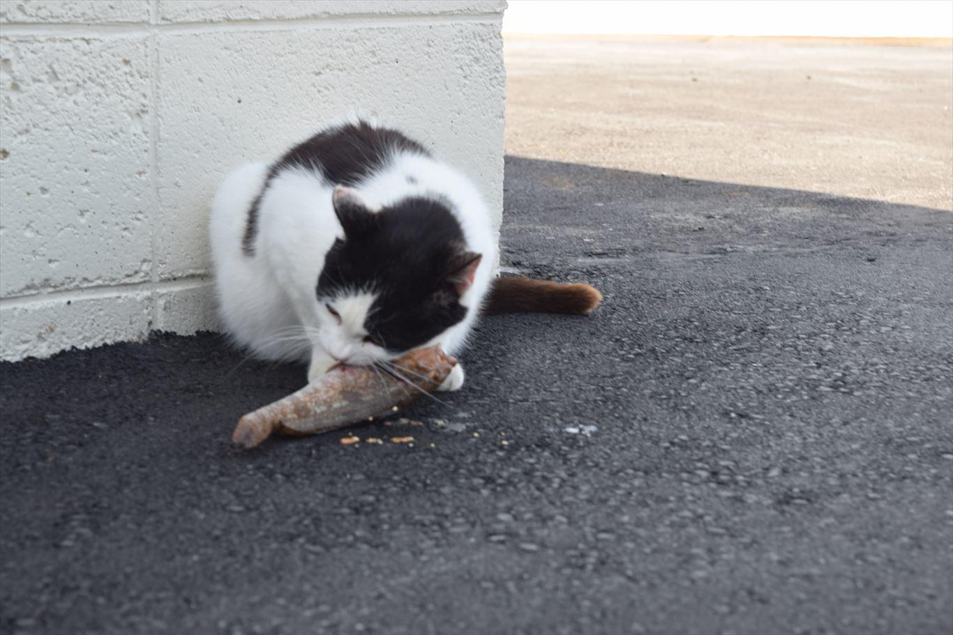 猫の島田代島_魚を食べる猫